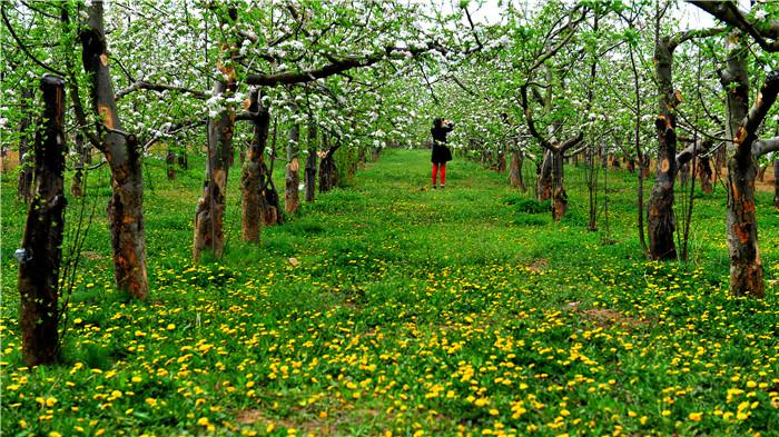 延安洛川:50万亩的苹果大花园邀您来赏花
