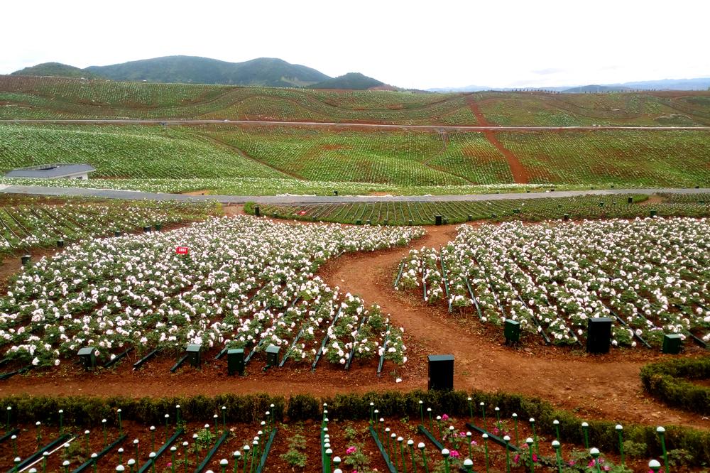 全国最大连片牡丹园在洋县建成 3000万株牡丹花盛放迎春