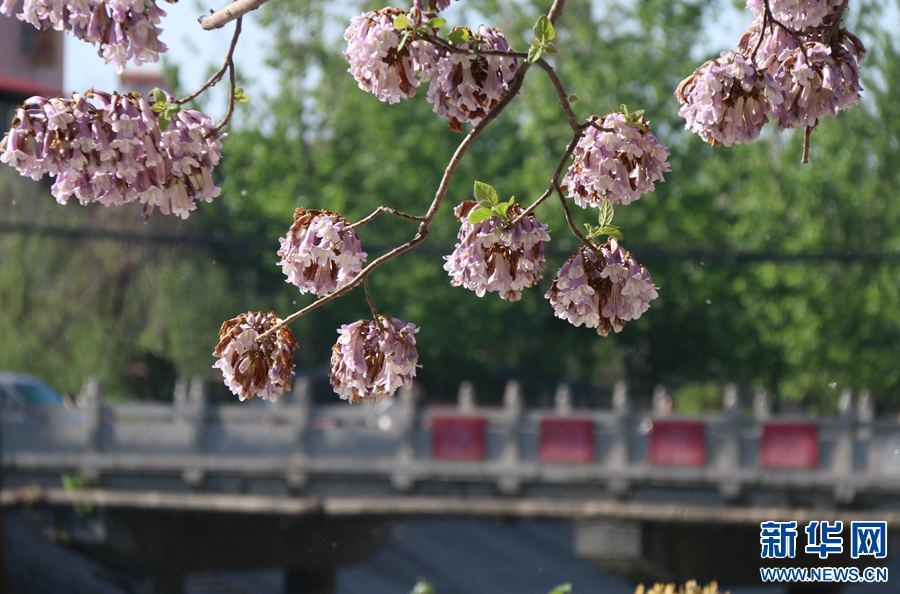 梧桐花开 香飘河岸