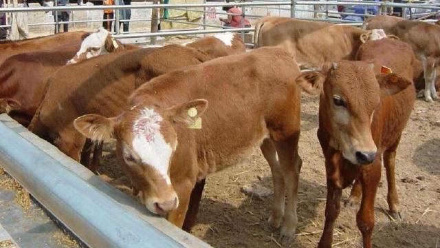 老吳的養牛致富夢