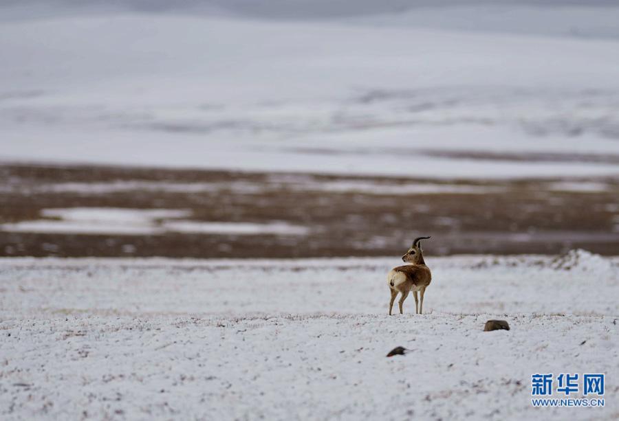 高原的精灵,人类的朋友——青藏高原野生动物科考见闻录