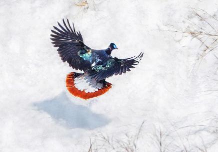国家一级保护动物中的翘楚——白尾梢虹雉