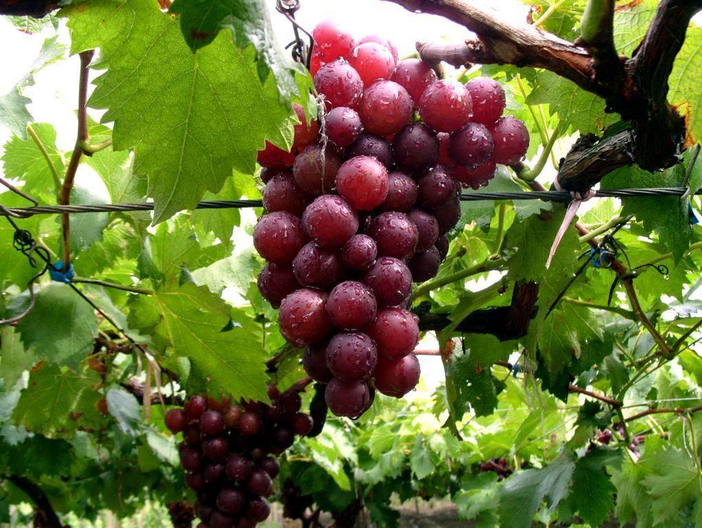 酿造葡萄饮品的注意事项