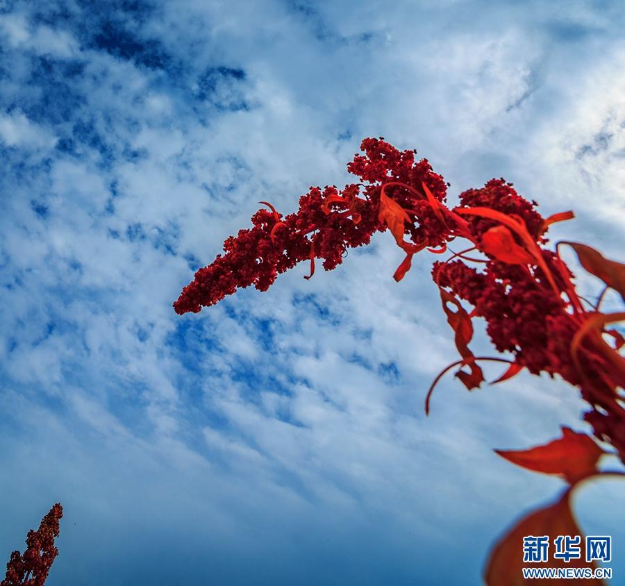 青海海南州藜麦飘香 惊艳醉人
