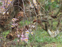 云南瑞丽:石斛林下种植模式获生态学家
