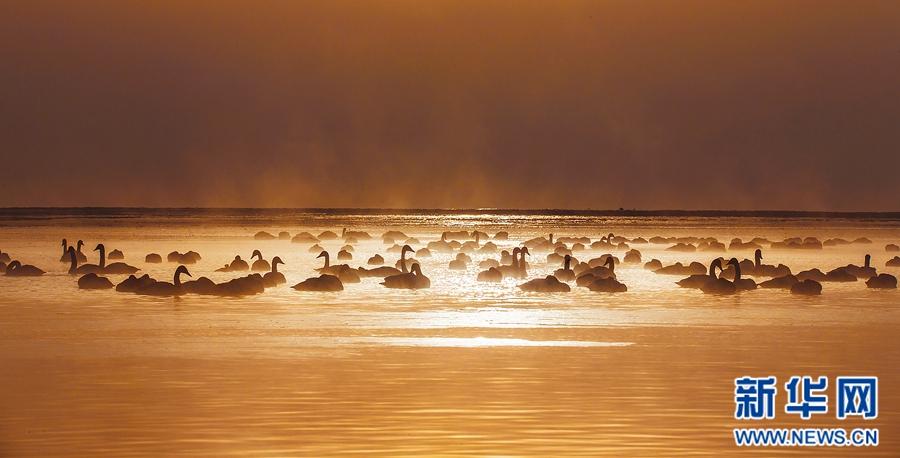 青海湖泉湾:大天鹅的冬季乐园