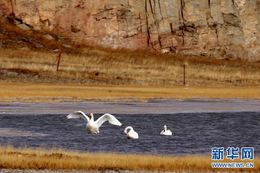 今日小雪:冬季来青海湖看大天鹅