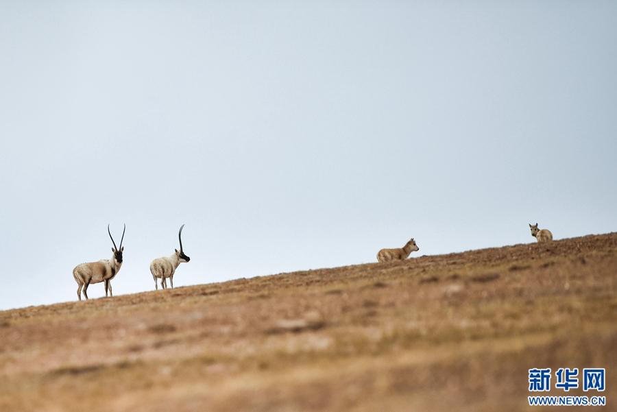 三江源地区野生动物种群数量持续上升