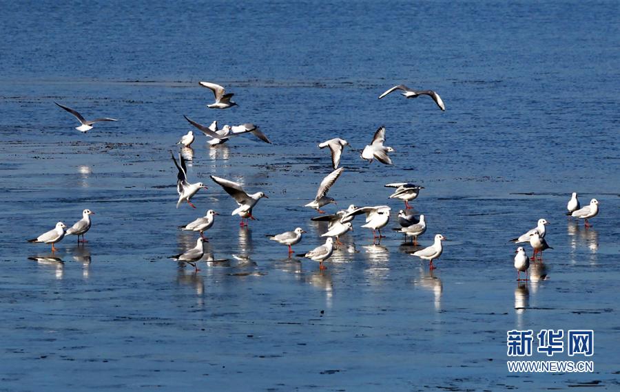 数千只海鸥飞临于桥水库