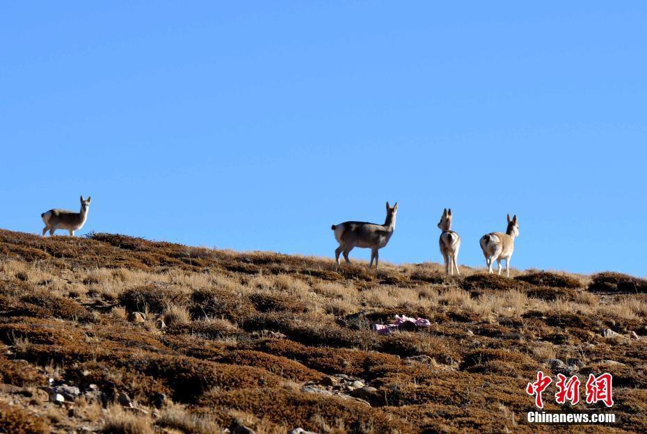西藏阿里 野生动物的天堂(组图)