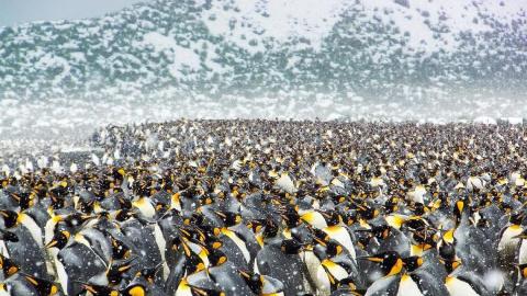 25万只帝企鹅齐聚南极海滩