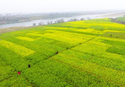 江西新余:航拍下的万亩油菜花绽放迎春