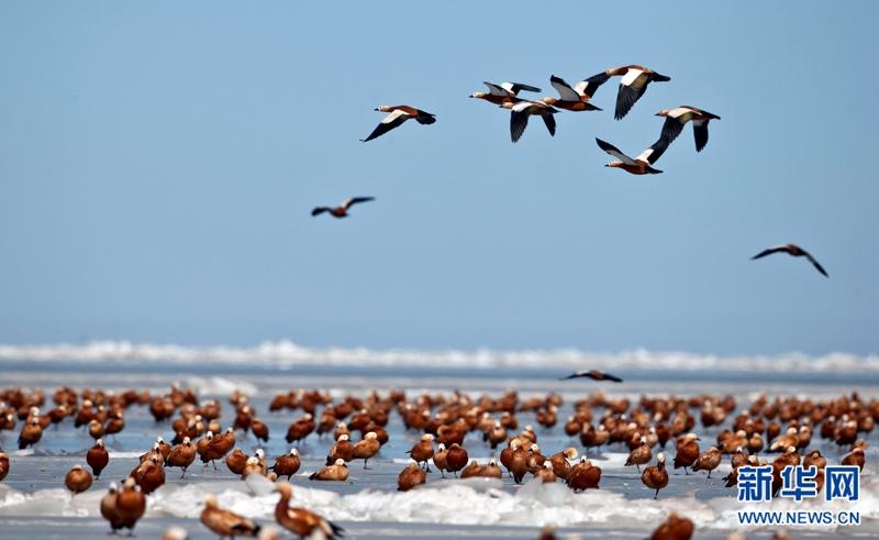 春回大地 近万只赤麻鸭飞临青海湖