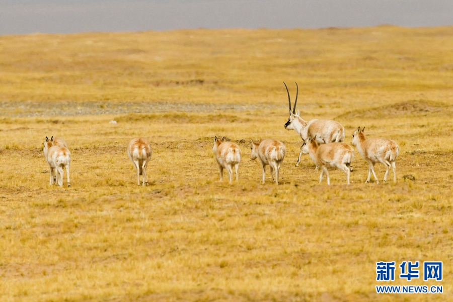 遇见藏羚羊——在生命禁区跃动的精灵