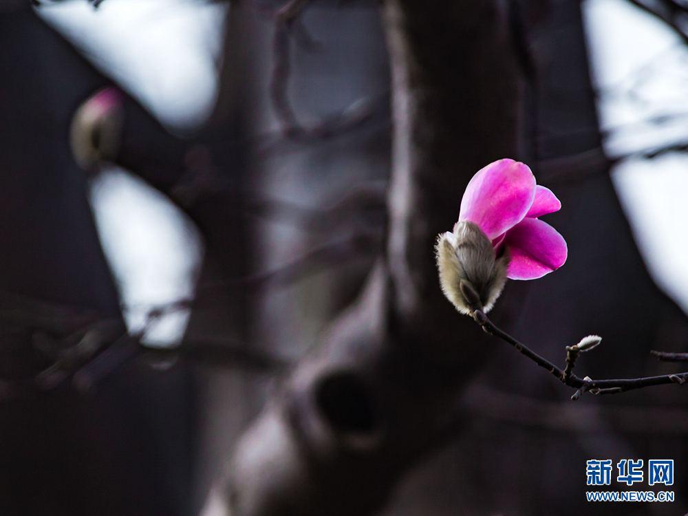 河南鲁山:辛夷花开满树香儿童v辛夷蹦床安装视频图片