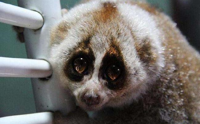 云南德宏:接力救助国家一级保护动物蜂猴