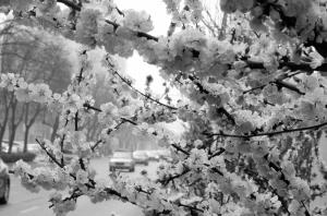 石家庄:榆叶梅花开 正逢春意浓