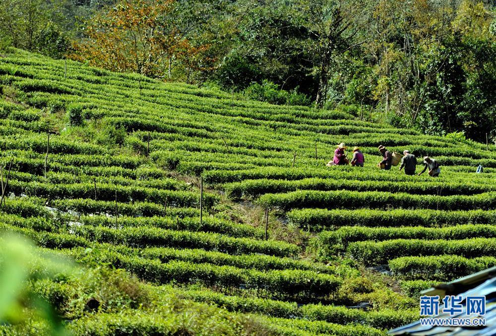 西藏墨脱:农户采茶忙