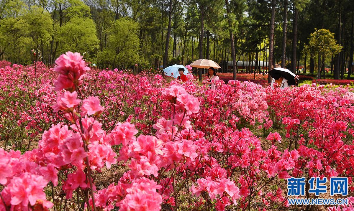 4月3日,游人在万佛湖风景区映山红花海景区游览.