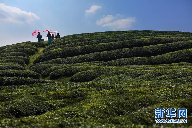 江西上高:茶园踏青赏春 享受美好时光
