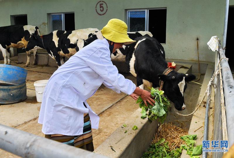 养殖奶牛助民增收