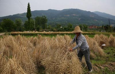 古法收油菜 汉中53岁留守大妈独自一人2天收一亩