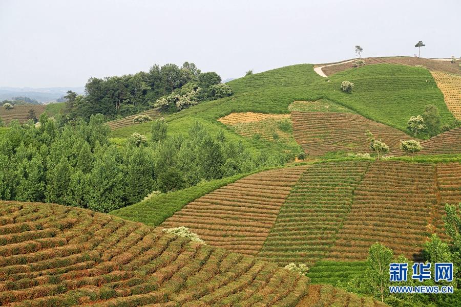 【我为中原出彩做贡献】徐启来:建设万亩茶园 瞄向百年品牌