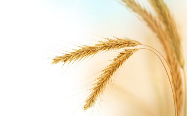 河南唐河县:万亩小麦高效示范方开镰