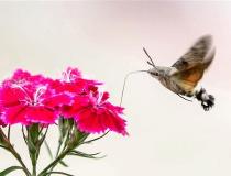 【视·觉】蜂鸟鹰蛾花中采蜜