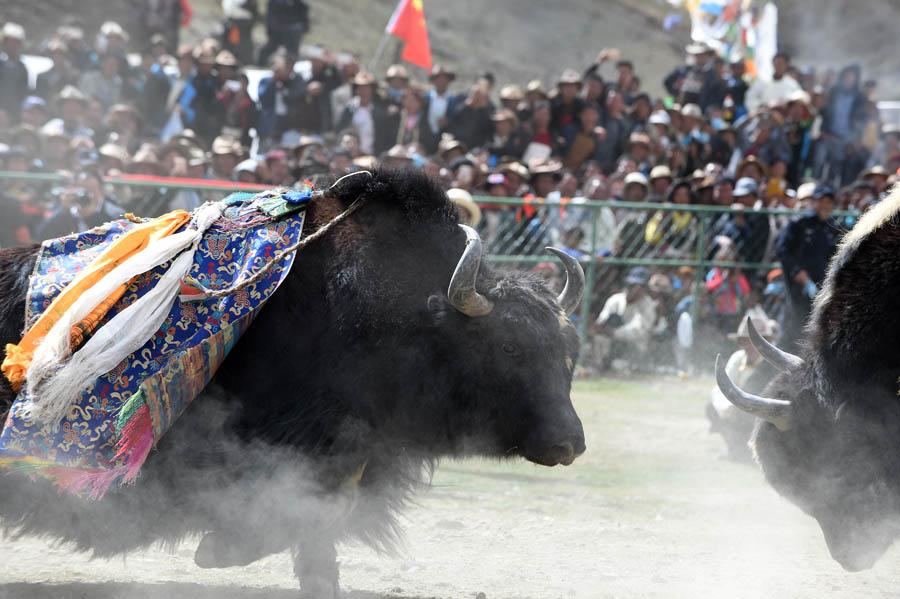 藏乡斗牛节