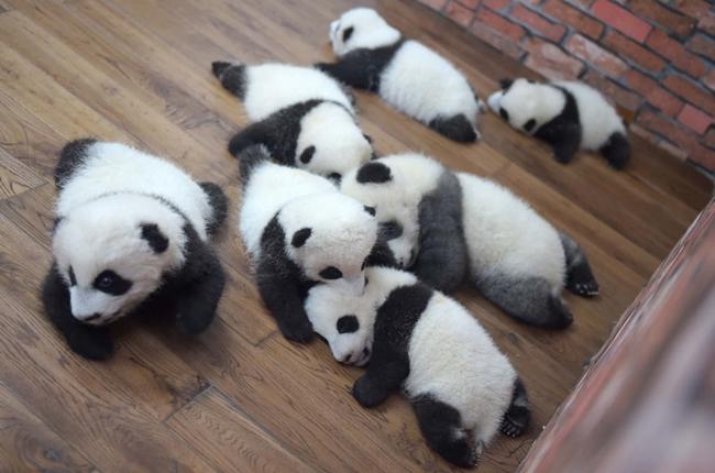 """走进成都""""熊猫幼儿园"""""""