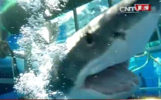 水下惊魂!潜水员险遭大白鲨袭击