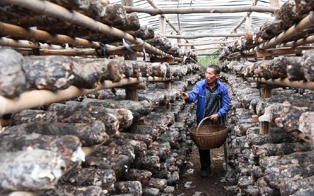 山区独腿农民杨书春种植香菇带动村民脱贫致富