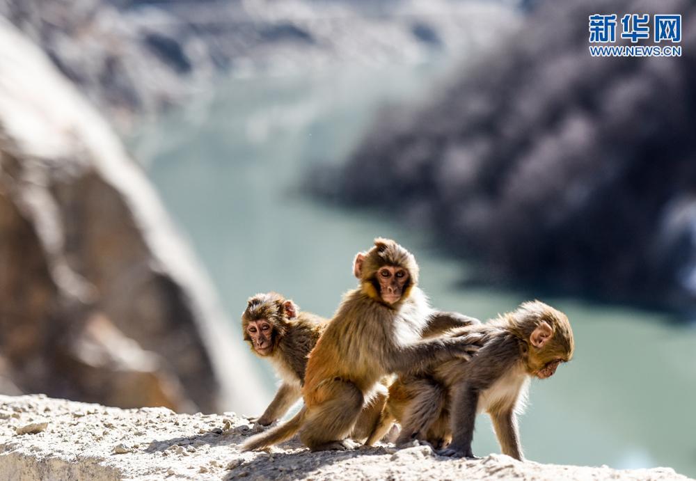 一只藏猕猴在达古峡谷内吃过往路人喂食的苹果(1月16日摄)。 达古峡谷位于西藏山南市桑日县和加查县交界处,距拉萨223公里,谷内有雅鲁藏布江大转弯,江水奔涌湍急。这里风景迷人,气候湿润,植被繁茂。随着西藏加大野生动物保护力度,谷内藏猕猴繁殖迅速。 新华社记者 普布扎西 摄