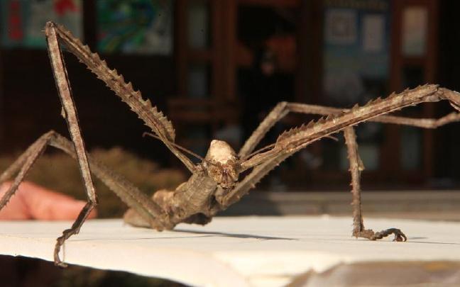 云南普洱惊现巨型竹节虫 体长超40公分体