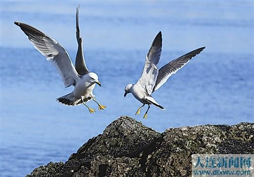 海鸥飞舞 享碧海蓝天