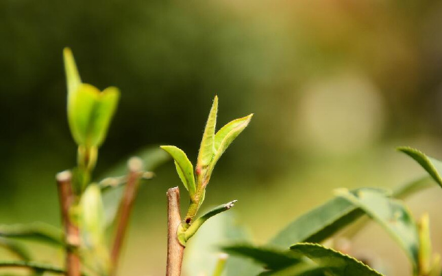 杭城茶树已露尖尖角