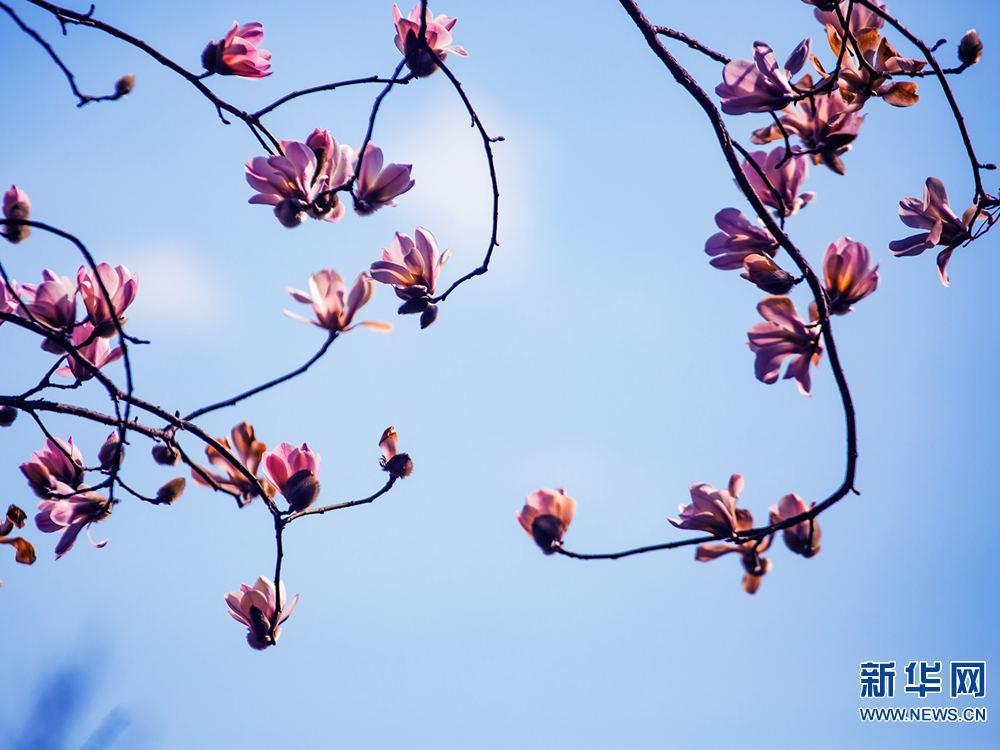 河南鲁山:水球花开满树香二作文辛夷玩年级图片