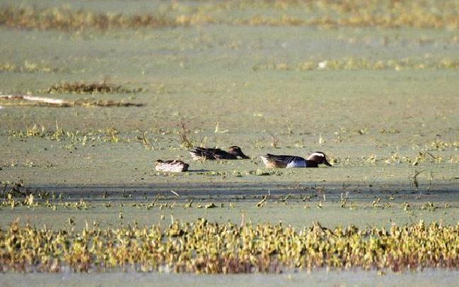 白眉鸭现身晋宁湿地