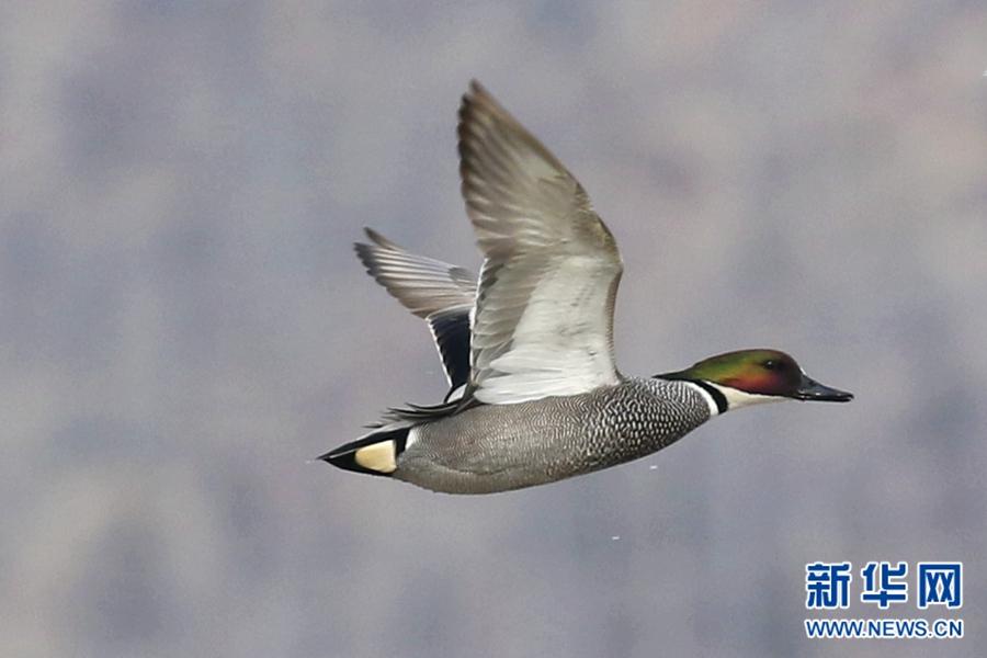 罗纹鸭现身西宁宁湖公园