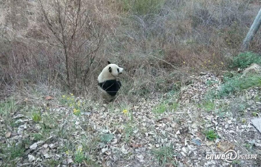 一只大熊猫在太白县太白河镇附近游荡