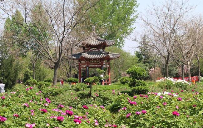 """河南三门峡:""""天鹅之城""""牡丹香"""