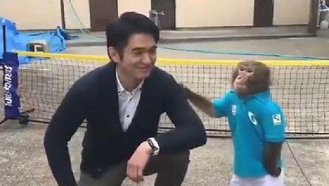 """6岁猴子打网球视频走红 够""""专业"""""""
