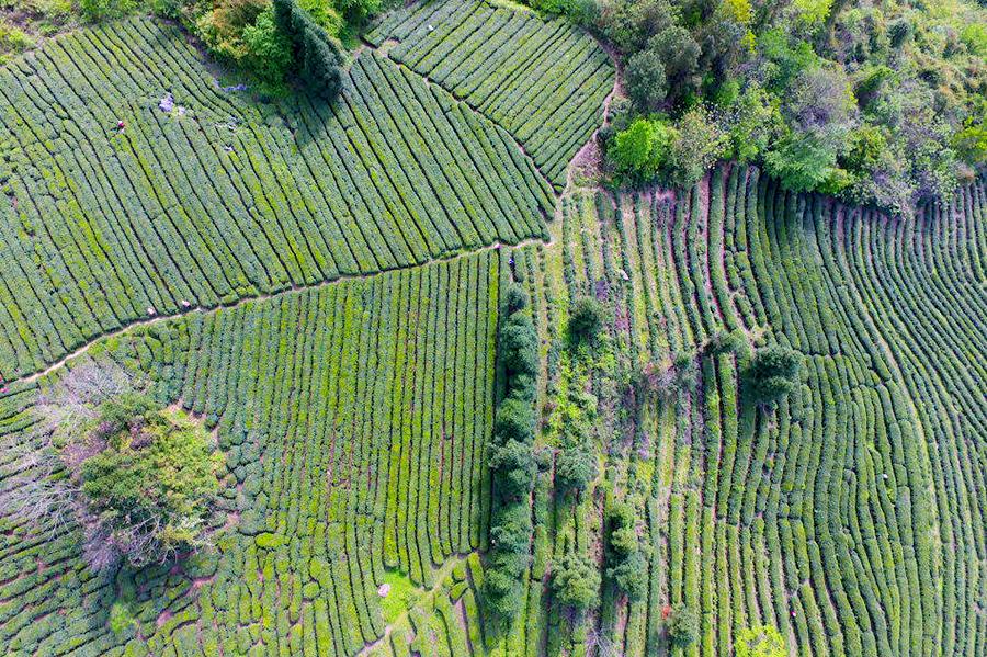南郑多举措推进茶产业转型升级