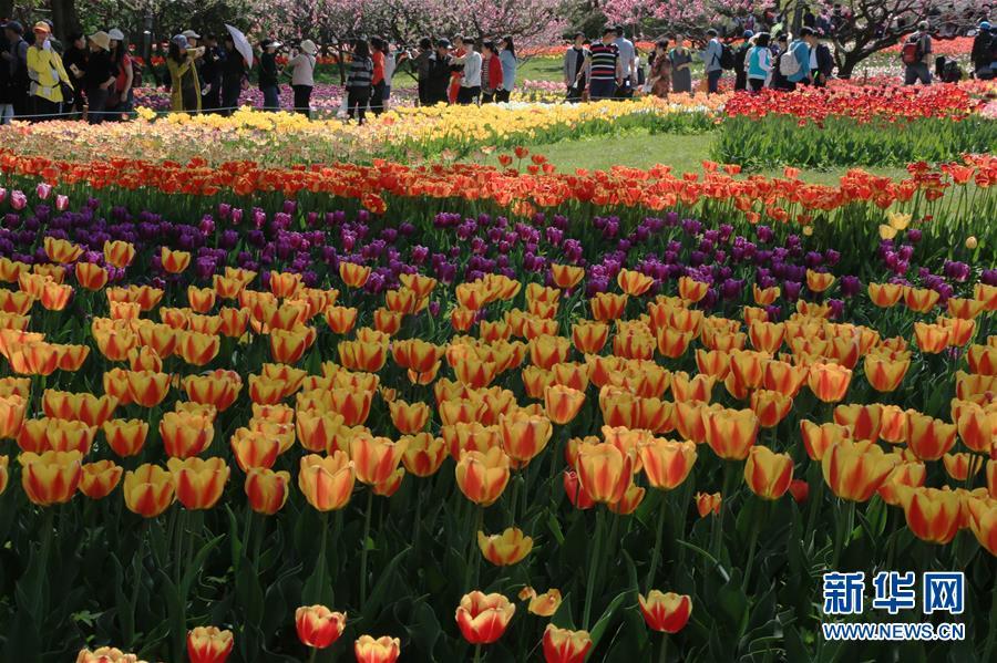 美翻了!北京植物园郁金香花海漫步
