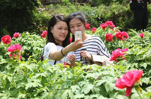 铜陵凤凰山牡丹花盛开 吸引大批游客