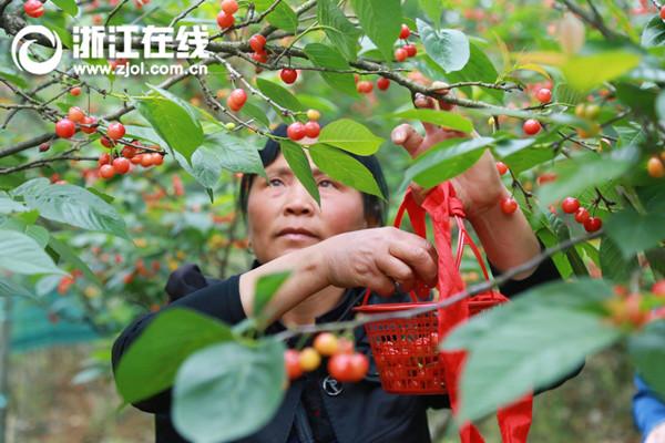 长兴泗安的樱桃红了 还不快去尝尝鲜