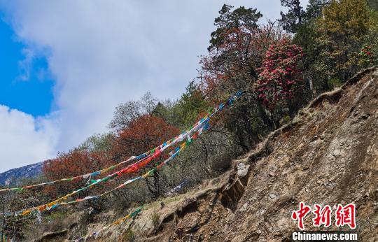 西藏边陲小镇迎来首届杜鹃花文化旅游节