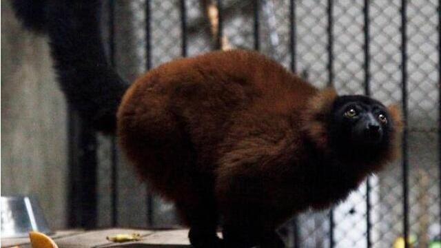 濒危物种红领狐猴落户沈阳森林动物园