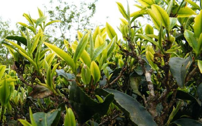 勐海县开展野生古茶树保护宣传